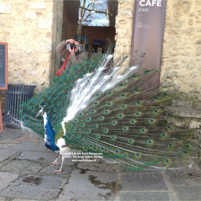 peacock blog